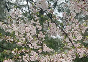 私事通信Vol.2『桜の花びら散るたびに〜♪』